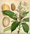 Curtis's botanical magazine (Tab. 4510) (8240521745).jpg