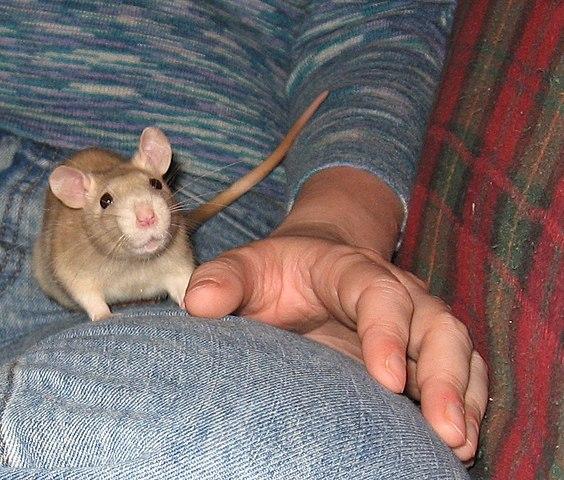 Potkan ako domáci miláčik