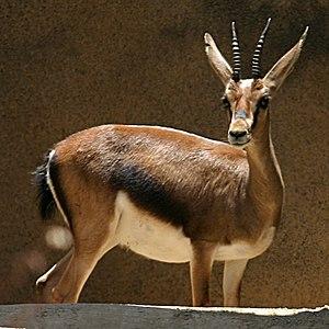Gazelle - Image: Cuvier's Gazelle