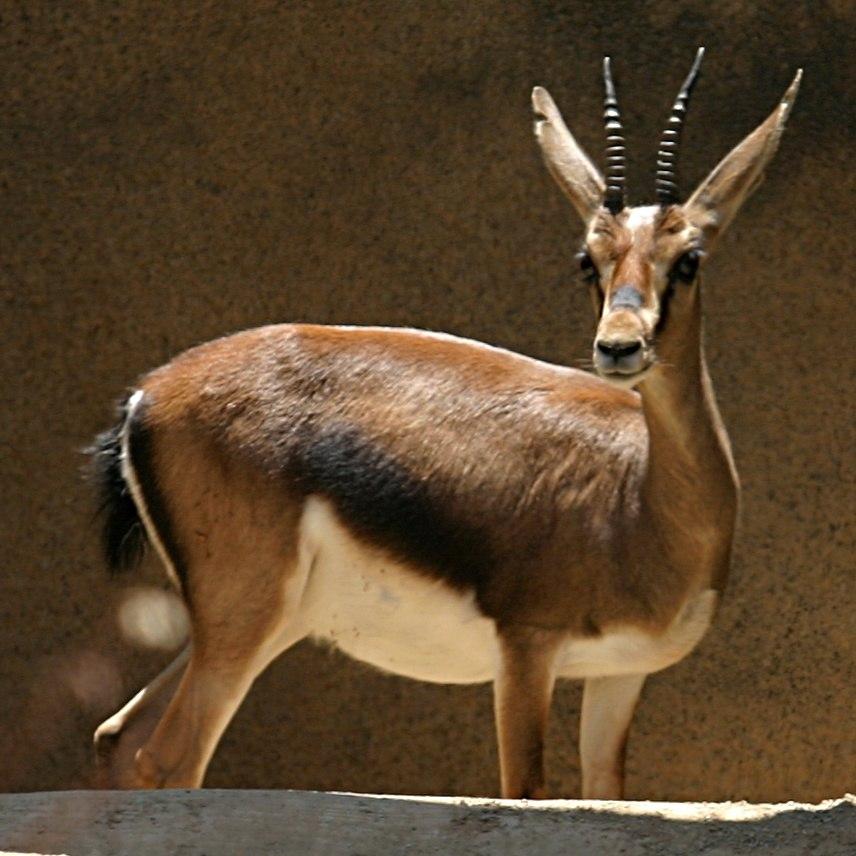 Cuvier's Gazelle