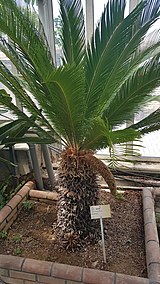 Cycas revoluta Thunb