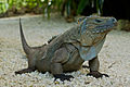 Cyclura lewisi -Queen Elizabeth II Botanic Park, Grand Cayman, Cayman Islands-8 (1).jpg