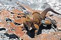 Cyclura rileyi rileyi (San Salvador rock iguana) (Green Cay, offshore from northwestern San Salvador Island, Bahamas) 8 (16040067622).jpg