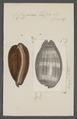 Cypraea talpa - - Print - Iconographia Zoologica - Special Collections University of Amsterdam - UBAINV0274 088 02 0041.tif