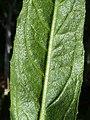 D. viscosa-leave-1.jpg