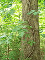 DO - Poison Ivy and Virginia Creeper (4072542604).jpg