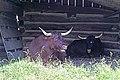 DSC08692 - Oxen (37030391296).jpg