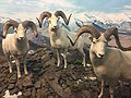 Dall's Sheep, Denver Museum of Nature and Science.jpg