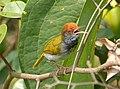 Dark-necked Tailorbird.jpg
