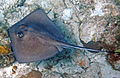 Dasyatis americana (southern stingray) (San Salvador Island, Bahamas) 6 (15967467829).jpg