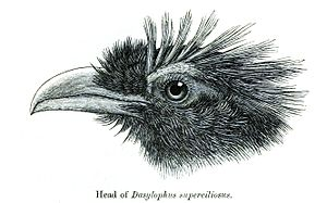 Rough-crested malkoha - Head feather pattern