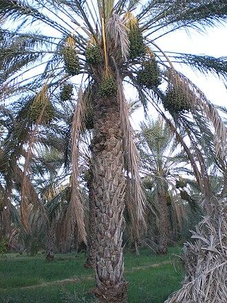 Deglet Nour - Palm tree in the Tolga Oasis