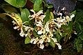 Dendrobium atroviolaceum (Pygmy x Little Elf) 0zz.jpg