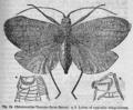 Descent of Man - Burt 1874 - Fig 13.png
