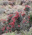Desert Broom (Cadaba aphylla) (31985193023).jpg