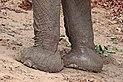 Desert elephant (Loxodonta africana) feet.jpg