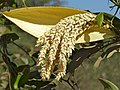 Desmoncus orthacanthos - Climbing Palm flowers (31620650882).jpg