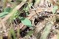 Devinska kobyla lizard.jpg
