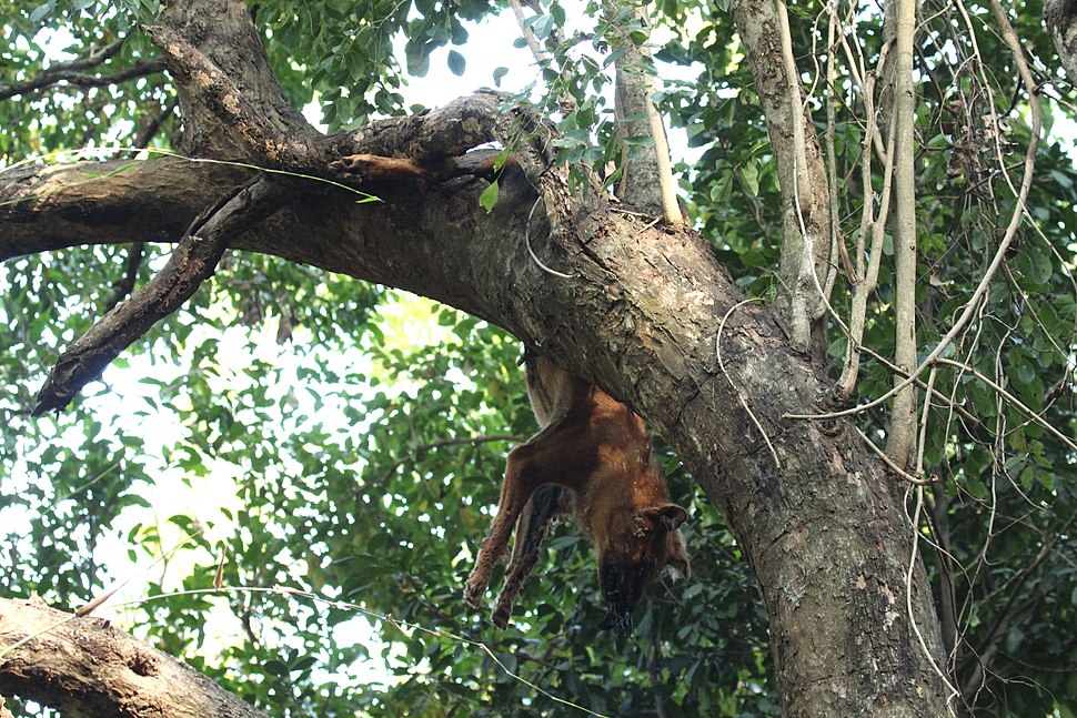 Dhole killed by leopard