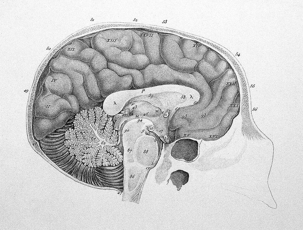 Filediagram Of The Brain Wellcome L0008296g Wikimedia Commons