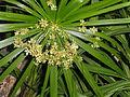 Dianella tasmanica - Balboa Park Botanical Building - DSC06781.JPG
