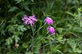 Dianthus superbus 01.jpg