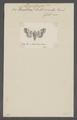 Diantoecia - Print - Iconographia Zoologica - Special Collections University of Amsterdam - UBAINV0274 057 03 0019.tif