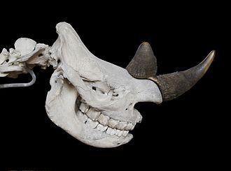 Black rhinoceros - Diceros bicornis skull