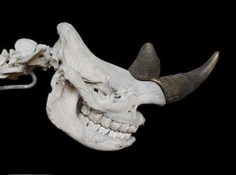 Black rhinoceros skull