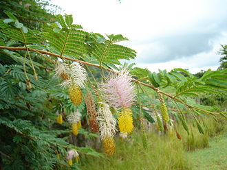 Dichrostachys - Dichrostachys cinerea in flower