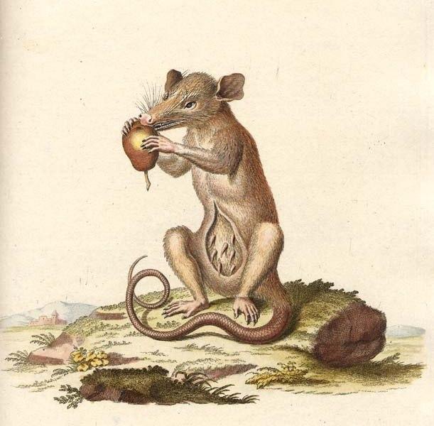 Didelphis marsupialis Schreber