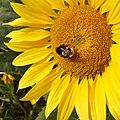 Die Bestäubung der Sonnenblume erfolgt durch verschiedene Insekten, hier von einer Hummel.jpeg