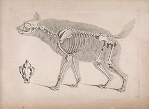 Striped hyena - Skeleton.