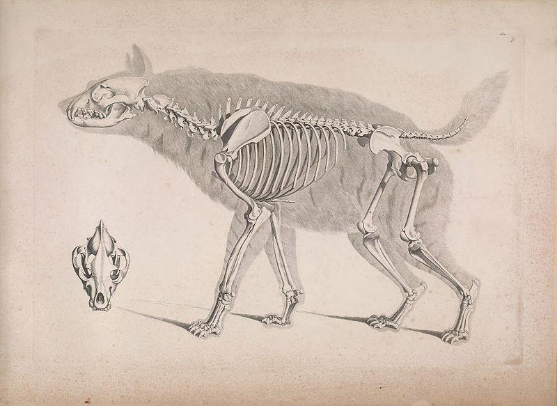 Die vergleichende Osteologie (1821) Hyaena hyaena.jpg