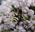 Digger Wasp. possibly female Ectemnius continuus (35921874450).jpg