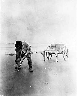 Digging razor clams on the beach, 1915
