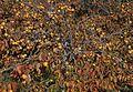 Diospyros kaki - Japanese persimmon 01-1.jpg