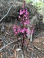 Dipodium roseum (wide view).JPG