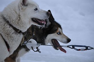 Dog sled - Dogsled huskies at rest, Ottawa, Canada, 2011