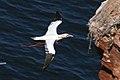 Dokumentation Plastikmüll - Basstölpelkolonie auf Helgoland c Bernhard Bauske - WWF Deutschland.jpg