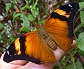 Doleschalia bisaltide - Flickr - gailhampshire.jpg