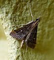 Dolicarthria punctalis. Pyralidae - Flickr - gailhampshire (1).jpg