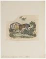 Dolichotis patagonica - 1700-1880 - Print - Iconographia Zoologica - Special Collections University of Amsterdam - UBA01 IZ20600051.tif