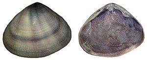 Donax (bivalve) - Donax cuneatus shell