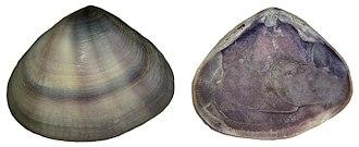 Donax (bivalve) - Donax cuneatus shell