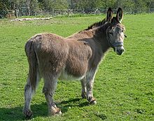 donkey wiktionnaire