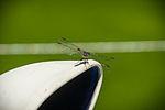 Dragonfly Visiting Borka (7315925318).jpg