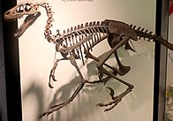 Dromaeosaurus skeleton.jpg