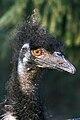 Dromaius novaehollandiae -Artis Zoo, Netherlands -head-8a.jpg