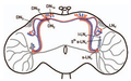 Drosophila lateral and dorsal neuron locations.png
